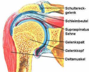 Schultergelenk-mit -Supraspinatus-Sehne-und-Schleimbeutel