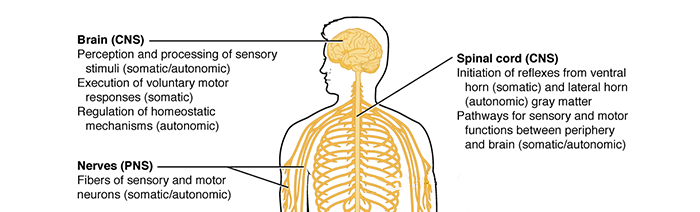 Das Zentrale Nervensystem - Gannikus.com