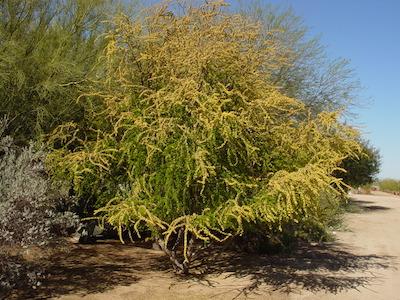 Acacia-Rigidula