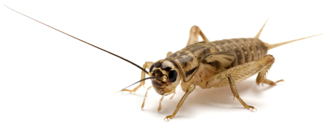 Brown House Cricket