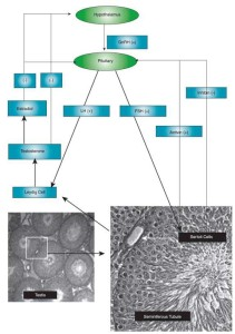 hypothalamus-hypophyse-gonaden-achse