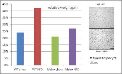 Relative Gewichtszunahme von wilden Mäusen und Mäusen ohne Myostatin nach 12 Wochen HFD bzw. normalem Futter.