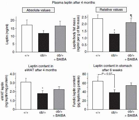 beta-aiba-gemaeß-tierstudie-sicher-und-effektiv-mehr-leptin