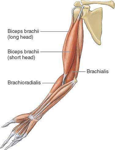 dickerer-bizeps-mit-einfachem-trick-anatomie
