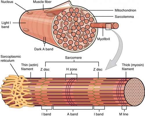 muskelaufbau-beguenstigen-mit-cardio-rope-muskelfaser
