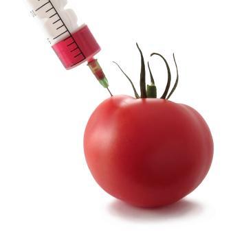 GMO Tomate