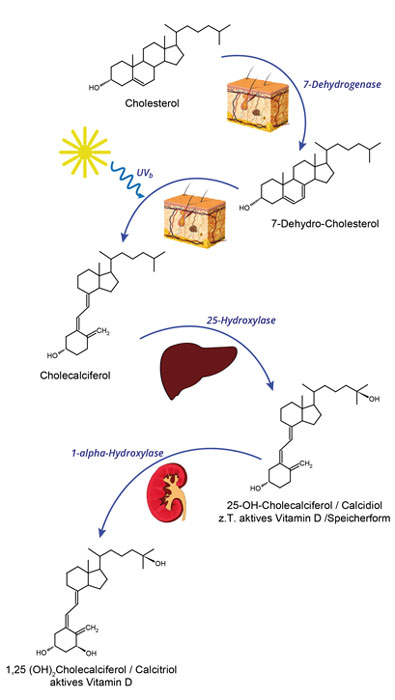 Vitamin D Produktion