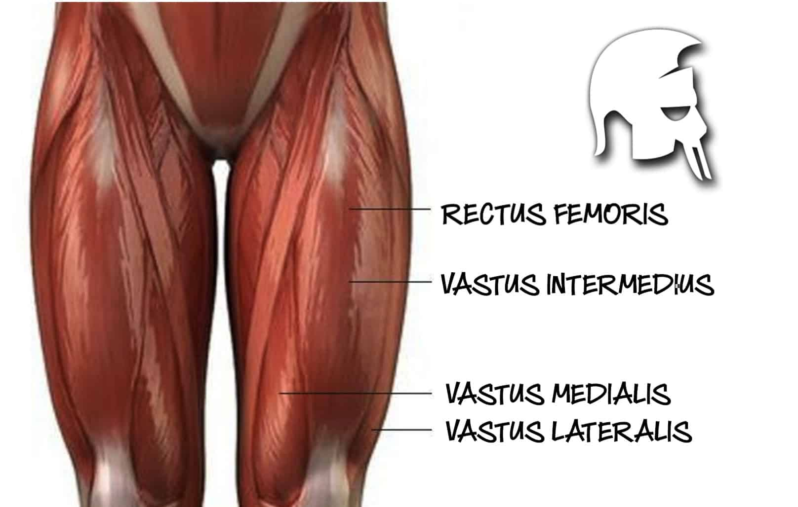 Quadrizeps Anatomie