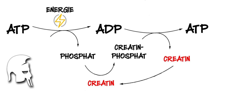 Das Creatin-Phosphat-ATP-System