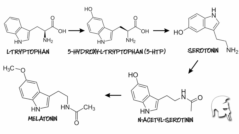 Die Synthese von Melatonin aus Tryptophan