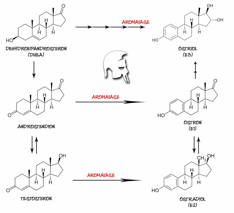 Aromatase: Körperfettverteilung Hormone