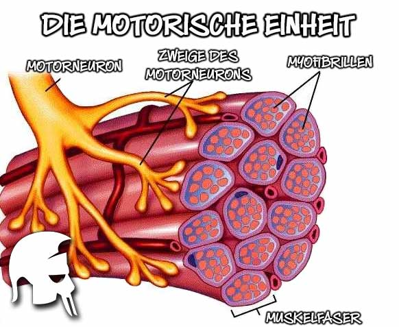 motorische Einheit
