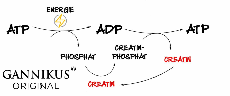 Creatin-Phosphat-Stoffwechsel