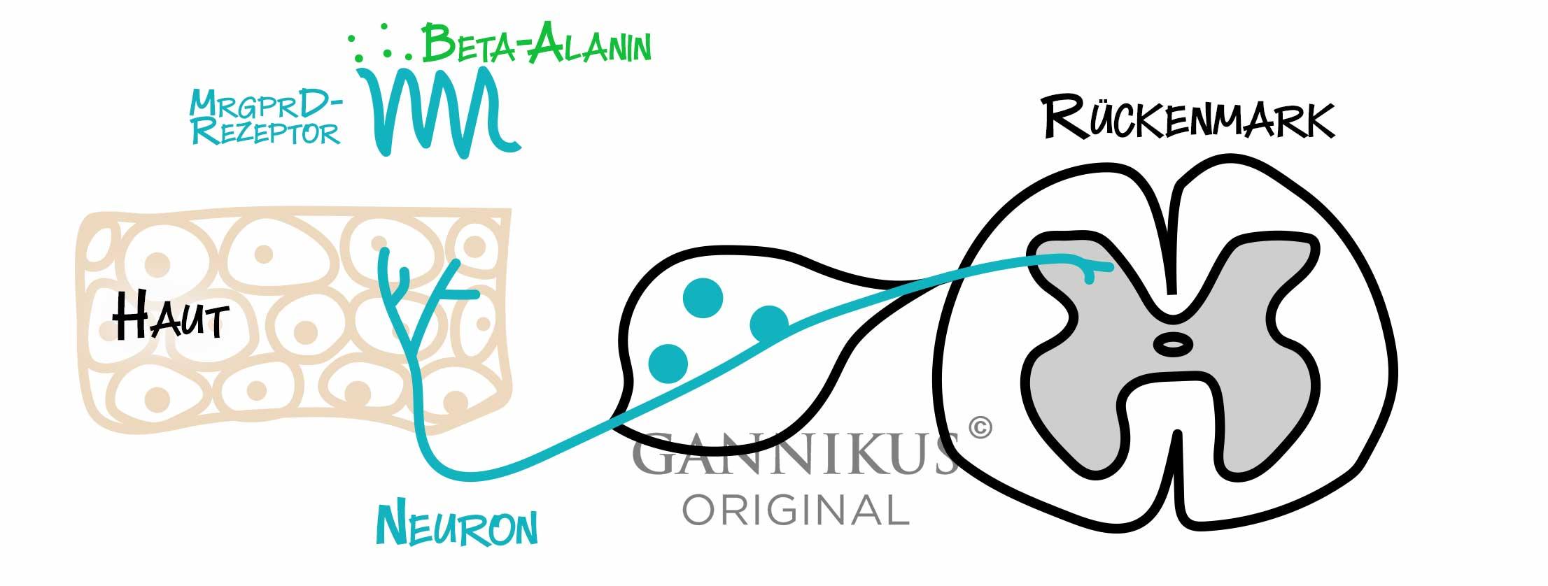 MrgprD-Rezeptor Beta-Alanin