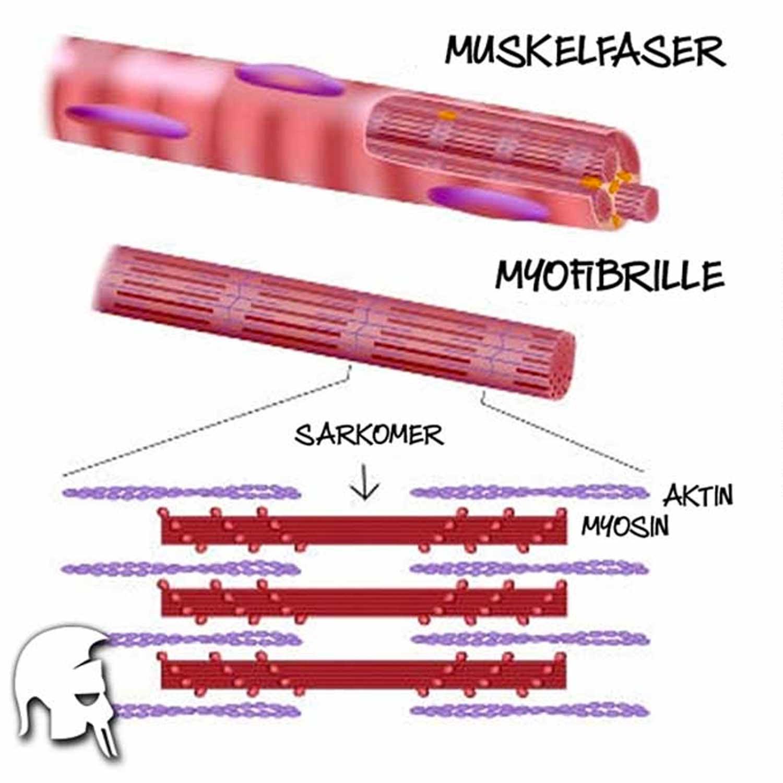 Aufbau Muskelfaser