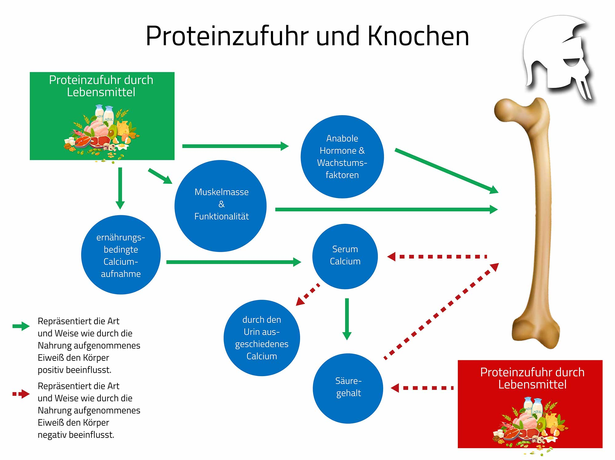 Protein Knochenabbau