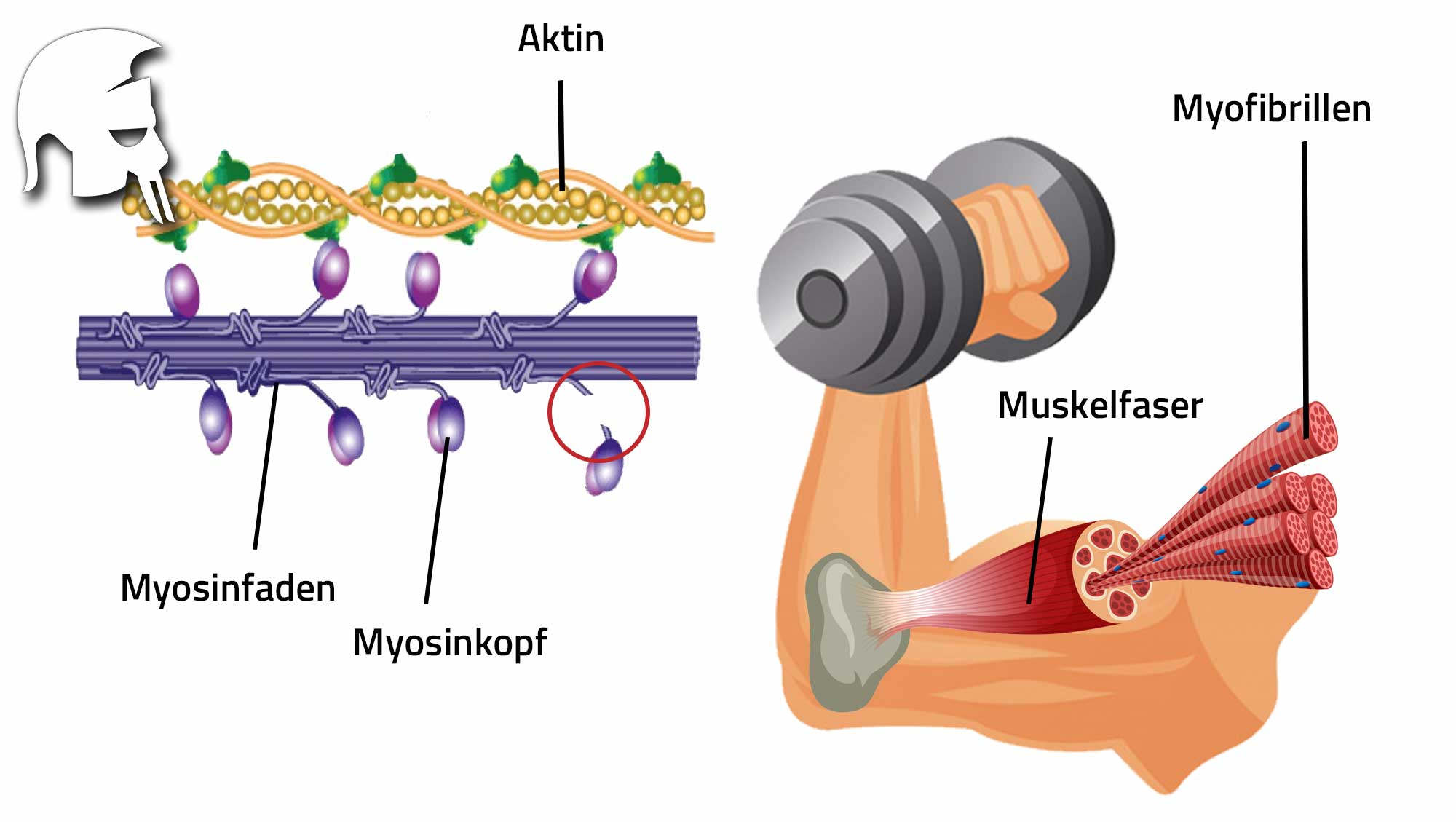 Muskelwachstum