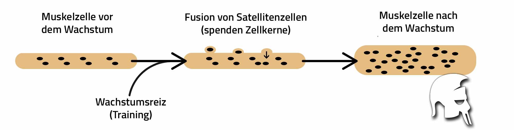 Faktoren Muskelwachstum Satellitenzellen