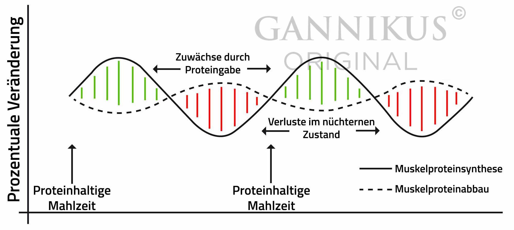Muskelproteinsynthese steigern